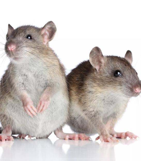 Причины возникновения пневмонии у крыс