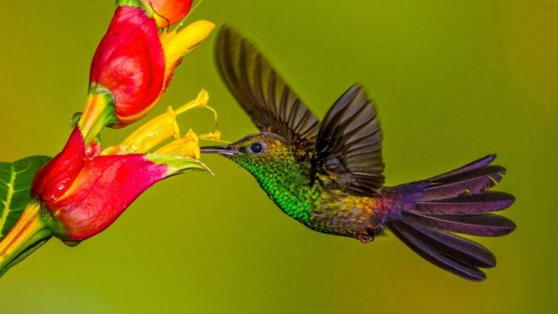 Колибри: фото и описание, где обитает, как выглядит, интересные факты о маленькой птице