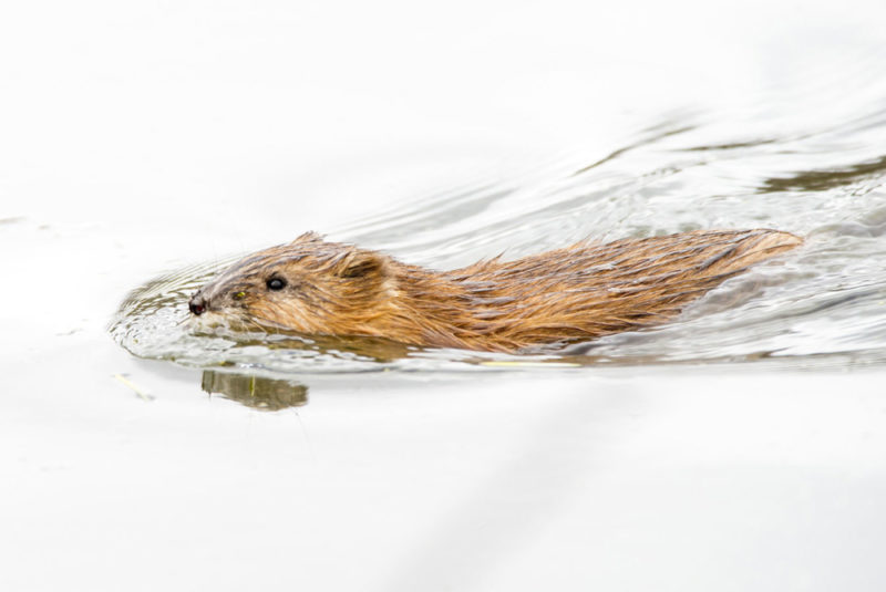 Чем питается ондатра в природе и где обитает: рацион, ареал и образ жизни полуводного грызуна