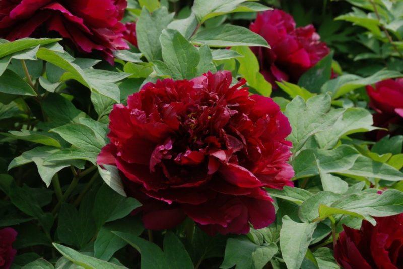 Красные пионы древовидные и травянистые: сорта с фото и названиями