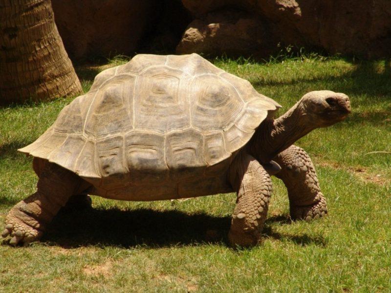Слоновая черепаха (галапагосская): описание исчезающего вида, среда обитания, интересные факты, фото
