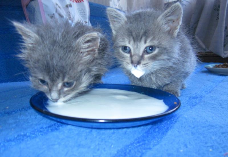 Чем кормить котят: сухие и влажные корма, домашняя еда, режим кормления