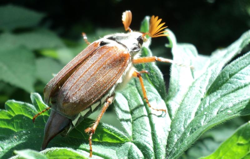 Майские жуки (хрущи): описание рода, чем питаются, где обитают
