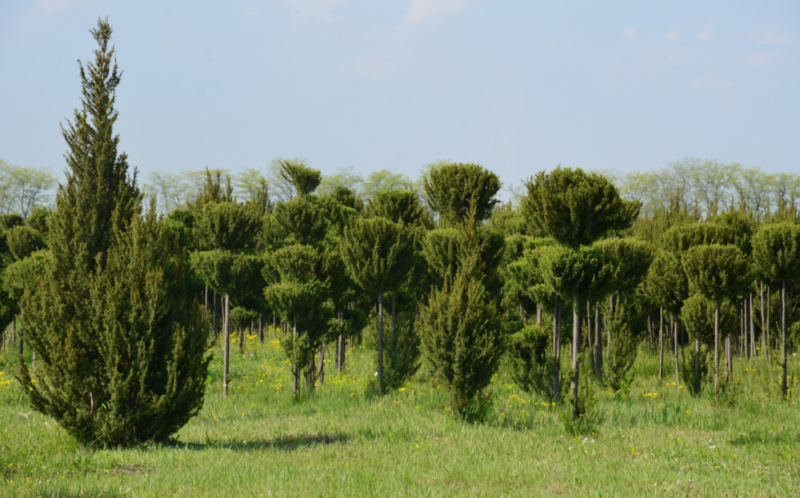 Можжевельник Хиберника обыкновенный: описание сорта, посадка и уход, использование в ландшафтном дизайне