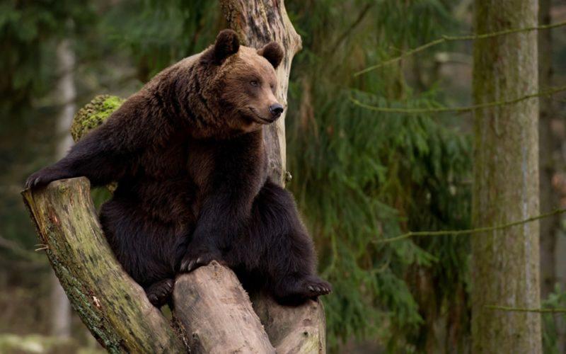 Видеть во сне медведя – к чему? Сонник: значение сна про медведя для женщины и для мужчины
