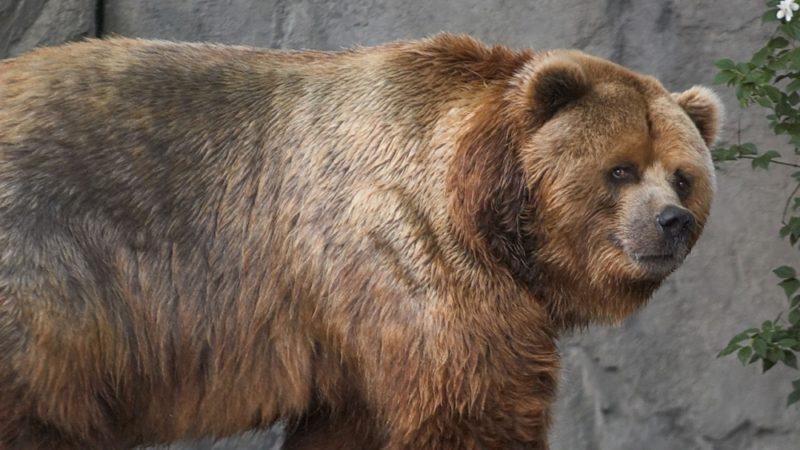 Самые большие медведи в мире - топ 5: фото с названиями, где обитают